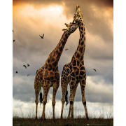 Giraffes Kissing - Mini Poster - 40 x 50cm