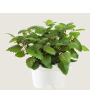 Click & Grow Refill - Lemon Balm
