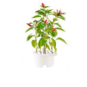 Click & Grow Refill - Chili Pepper