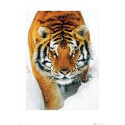 Tiger Snow - 60 x 80cm Print