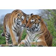 2 for 1 Breakfast with the Big Cats Special Offer