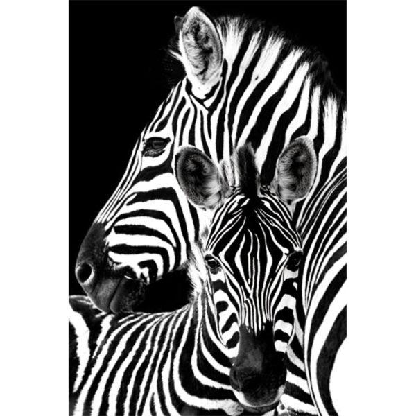 Zebra - Maxi Poster - 61 x 91.5cm