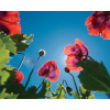 Poppies Sky - Mini Poster - 40 x 50cm: Image 1