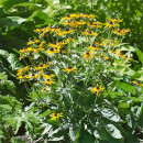 Rudbeckia Little Goldstar - 3L