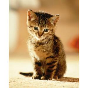 Kitten Sitting - Mini Poster - 40 x 50cm