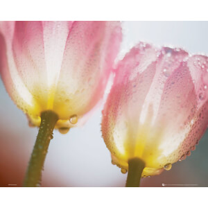 Tulips Dew - Mini Poster - 40 x 50cm