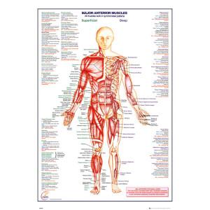 Human Body Major Anterior Muscles - 61 x 91.5cm Maxi Poster