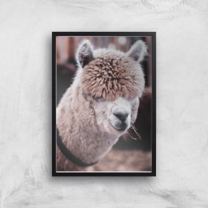 Alpaca Giclee Art Print