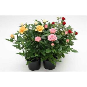 Mini Rose Houseplant - 10.5cm