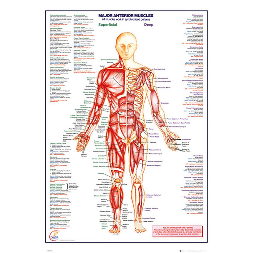 Human Body Major Anterior Muscles 61 X 915cm Maxi Poster
