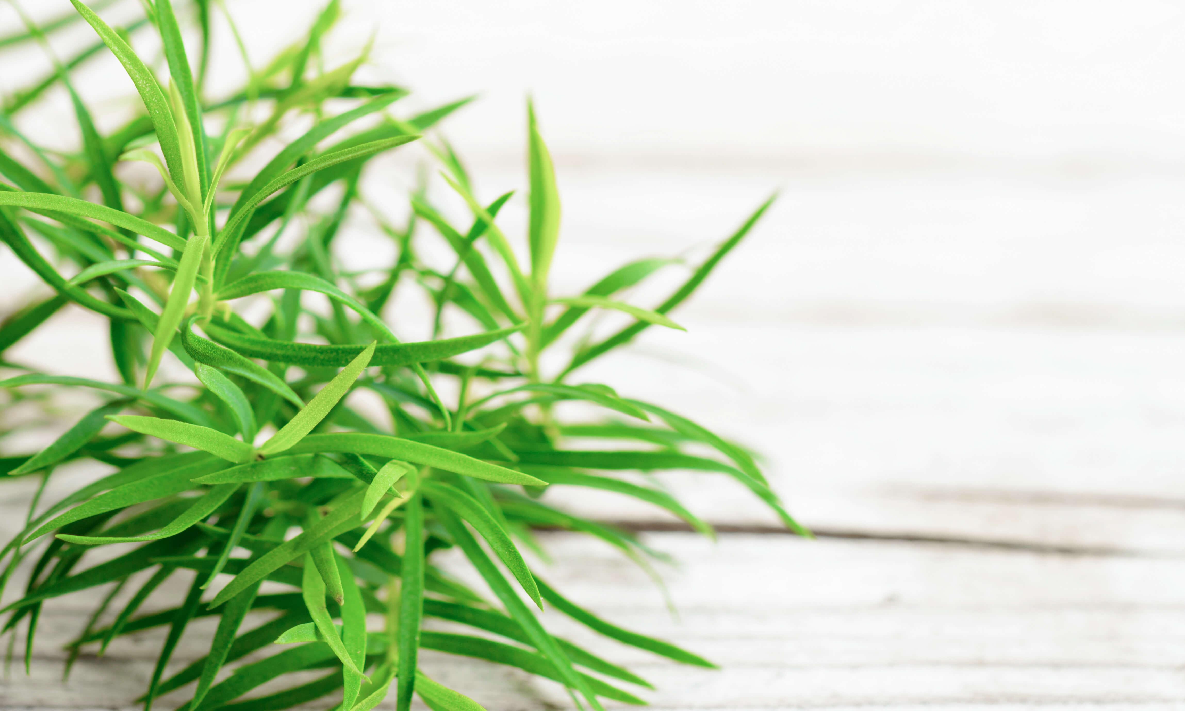 Tea Tree Oil Uses & Benefits