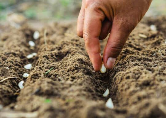 Eine Hand pflanzt Samen in die Erde.