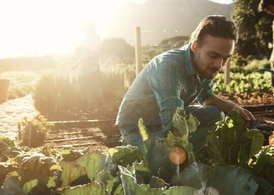 Un homme entrain de ceuillir des légumes