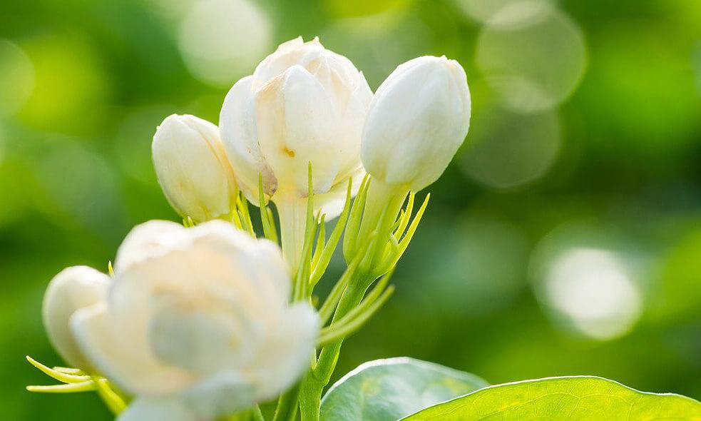 Cires de fleur