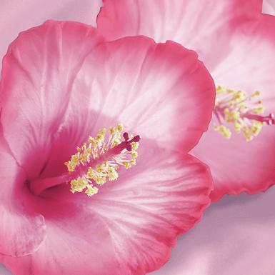 Hibiscus extract image
